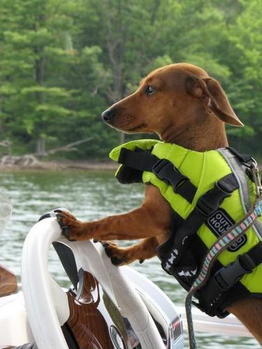 Dachshund boating