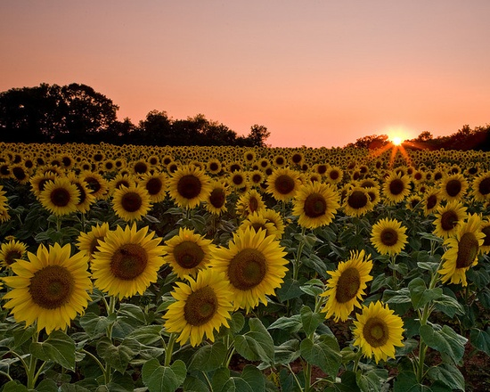 Sunflowers!!!