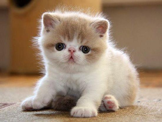 flat faced cross eyed kitten