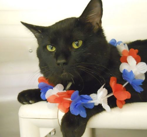 ABRAHAM is an adoptable Domestic Short Hair-Black Cat in Anchorage, AK Exceptionally easy-going and friendly, Abraham enjoys petting, but isn't at all pesky or  ... ...Read more about me on @Petfinder.com.com.com