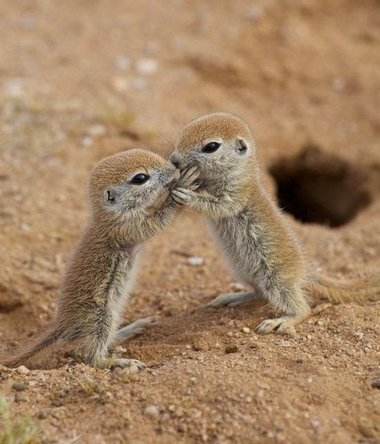 Cute baby round-tailed ground squirrels are being let out of their burrow for the first time(Photographed by Eirini Pajak near her home in Florence, Arizona