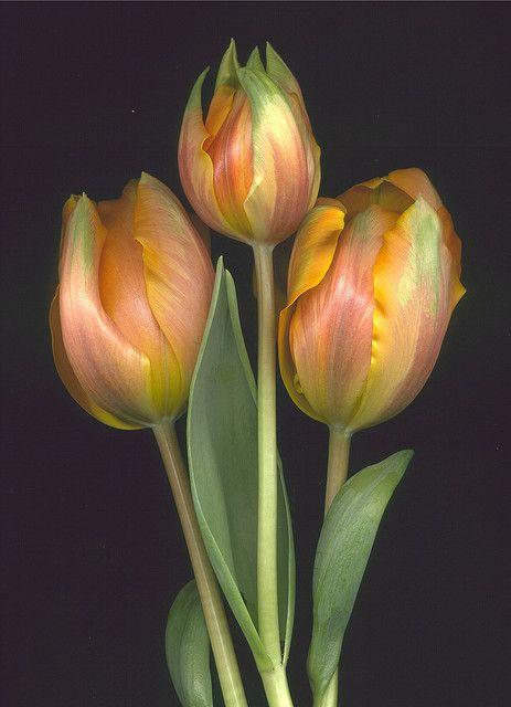 Tulips . . .