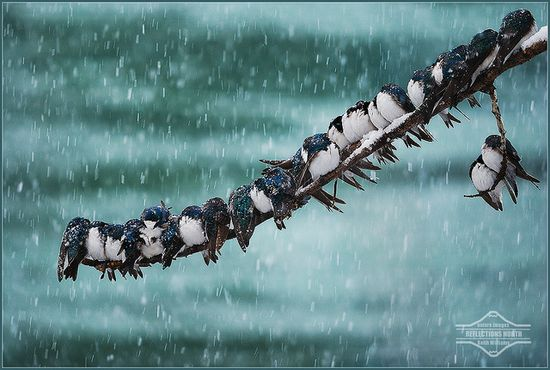 Swallows in a spring snowstorm huddle together for warmth.....