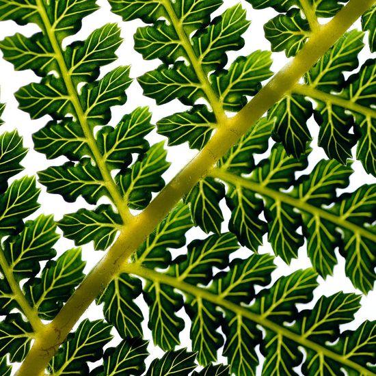 fern #fractals #fractalart #art