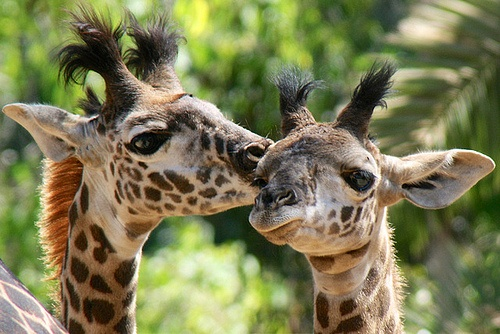 Kisses for baby brother. Baby giraffes Makali and Robert at the San Diego Zoo.