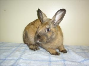Justin is an adoptable Dwarf Rabbit in Montreal, QC. SVP PRENDRE RENDEZ-VOUS POUR ADOPTER PLEASE NOTE THAT AN APPOI...