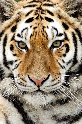 Awesome Tiger!