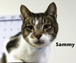 Sammy is an adoptable Domestic Short Hair Cat in Macon, GA. Sammy is a shy boy who is very responsive to positive interaction. He likes his 'kitty hut', but comes out for loving and pets. He is a swee...
