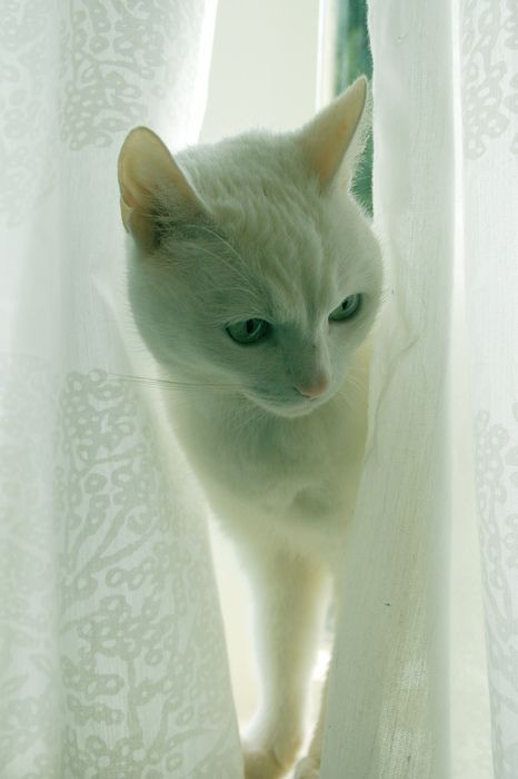 cat- white beauty