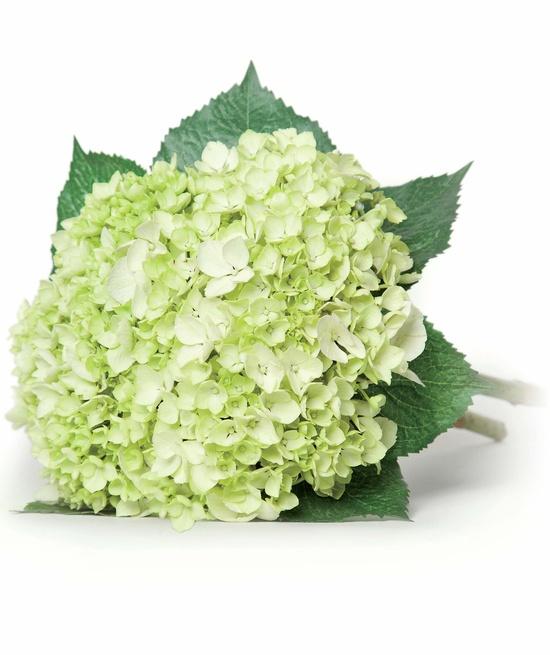LUCIASECASA.- ramo de hortensias blancas de Castañer.