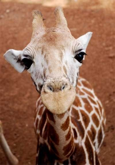 Baby Giraffe - Not Camera Shy :)