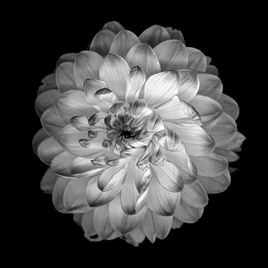 Another dahlia image for sleeve tattoo