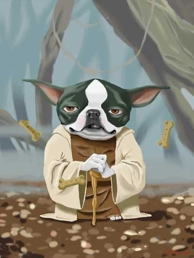 Yoda Boston Terrier.