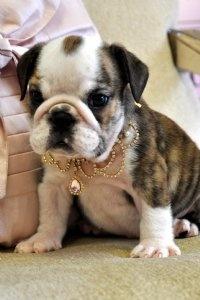 oh how i love english bulldog puppies.
