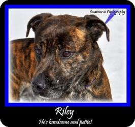 #MICHIGAN #URGENT ~ RILEY is a 4y/o 40-50bs #adoptable Labrador Retriever Terrier dog in #Standish. Rather petite....yeah, I guess that's okay to admit even though I'm a boy but that just means I won't take up very much room on your couch.  WOOF!  I'm already HOUSETRAINED & current on shots.  I'm good with kids/dogs. I'm very handsome & my short & shiny brindle coat will be very easy to care for. ARENAC COUNTY ANIMAL CONTROL  3750 Foco Rd #Standish MI 48658  Ph 989-846-4421 mailto:acac_hle@y...