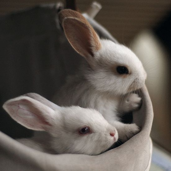Two Tiny Baby Bunnies