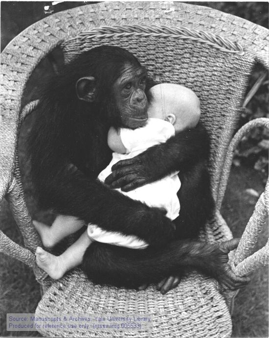 """Chimpanzee cradling human baby in wicker chair.  do NOT use these or any animals for """"testing""""!!! these animals all are deeply sensitive, tender, gentle creatures!!! they must all be loved, protected & respected!!!"""