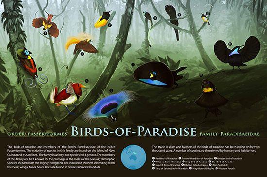 jl hirten Birds of Paradise