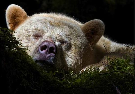 Sleeping 'Kermode' Bear - Paul Nicklen