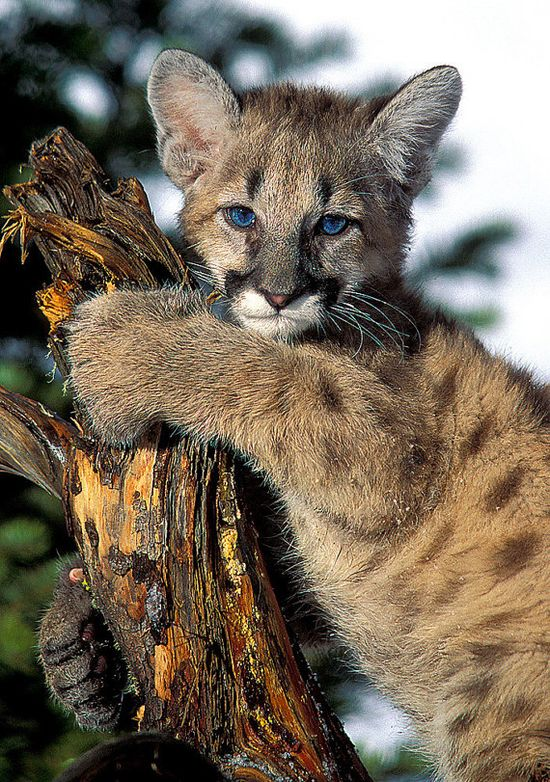 ~~cougar kitten by NatureIsArt~~