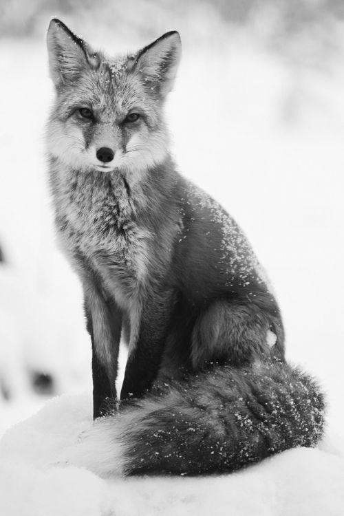 b & w fox