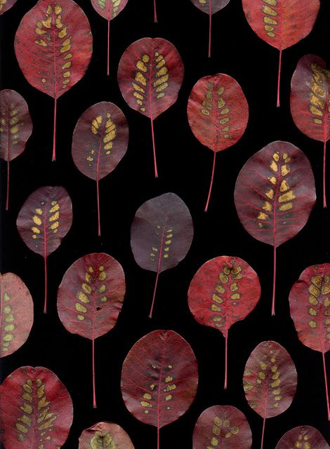 Cotinus coggygria 'Royal Purple' by horticultural art (flickr) MORE LEAVES www.flickr.com/... #leaves #red #fall #nature #photography
