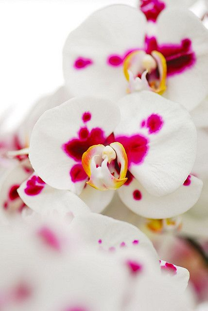 #Orchids .Phalaenops