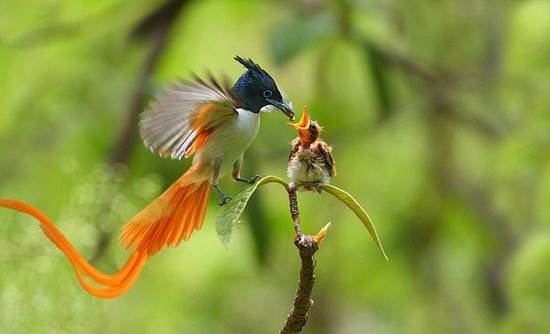 bird of Paradise (asian) feeding young