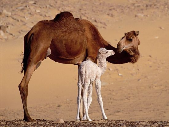 mother and baby animals camels