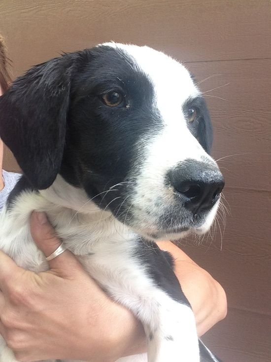 Soccer is a very sweet 20 week old puppy rescued from a high kill shelter. This puppy has been started on housebreaking and cratetraining in foster care and is current on vaccinations and dewormers. Please go to www.aaanimalrescu... and complete...