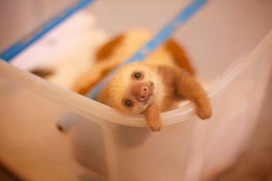 baby sloth. I can't get over how adorable sloths are!!
