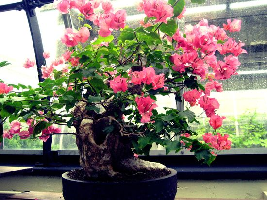 japan-origin-beautiful-bonsai-art-