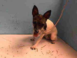CHIQUITA is an adoptable Rat Terrier Dog in New York, NY.  ...