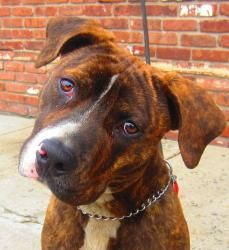 BOOMER 114343 is an adoptable Pit Bull Terrier Dog in Newark, NJ. Boomer is such a great dog.  He really impressed us with his great disposition. Social with everyone he met, fine with passing dogs an...