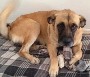 Lola is an adoptable German Shepherd Dog Dog in Bunnell, FL. Lola is a beautiful Shepherd mix. She is good with other dogs, but not small dogs, or probably cats.She is 6 years old, completely potty tr...