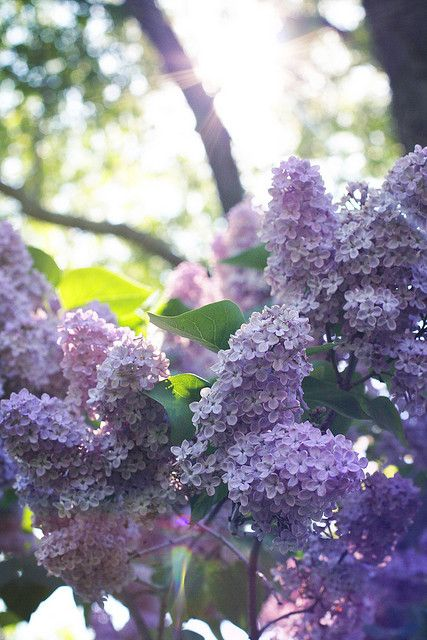 Blissfully beautiful sun-kissed lilacs. #flowers #garden #purple #lilacs #spring #summer