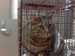 SAVANNAH is an adoptable Domestic Short Hair Cat in Martinez, CA.  ...
