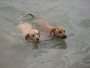 Bosco & Allie is an adoptable Labrador Retriever Dog in Oakville, ON. Bosco and my sisters name is Allie. We are considered an adorable senior set & need to stay together.