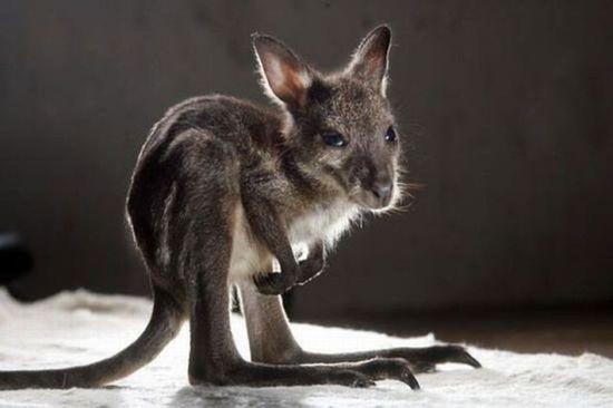 Kangaroo baby  #animal #kangaroo #baby #photography