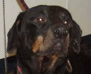 OHIO ~ URG'T ~ meet Scrooge -  an #adoptable #Rottweiler Dog in Mansfield.  I came to the shelter as a stray on 12/5/12.  I am in pretty bad shape.  I used to be quite handsome, but after having fleas for who knows how long, my skin is extremely itchy.  It feels like I spend the whole day scratching.  I am hoping with my big sad eyes someone will have compassion on me and give me a furever home. #Adopt me at Richland County Dog Warden, Mansfield, OH  419-774-5892 - mailto:richlandco...