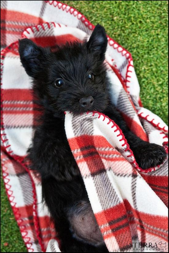 Scottish Terrier Puppy.