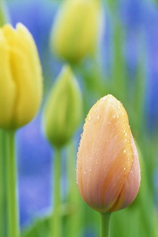 ~tulips~   {*}