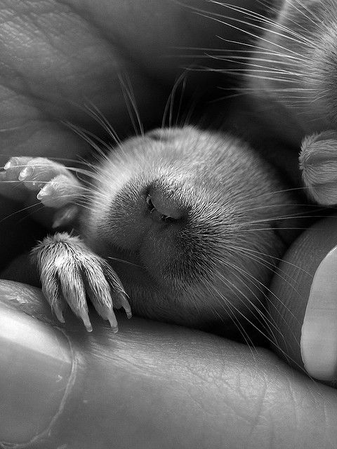 Cute Pet Gerbil In Dreamland