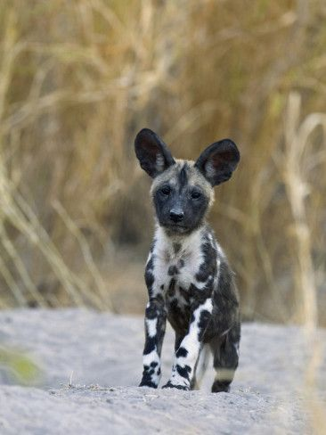 African Wild Dog Pup