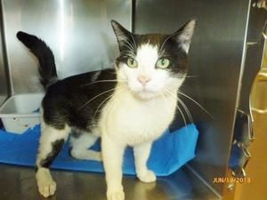 #26127 CARSON is now at PETSMART is an adoptable Domestic Short Hair-Black And White Cat in Saint Joseph, MO. CARSON is another friendly cat who's been at PetSmart a long time. He a big fella, but is ...