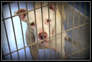 McKenna is an adoptable Pit Bull Terrier Dog in Maricopa, AZ. You can fill out an adoption application online on our official website. McKenna is a 8 year old spayed pit bull terrier mix. We were cont...