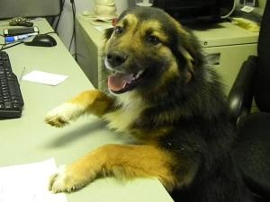 """DASIE~ WAVERLY, OH Australian Shep Dog Female 1yr 40 lbs wormed UTD shots free spay She's a very people friendly lady & gets along well with other dogs. She takes treats well, shows NO aggression. Pike County Dog Pound, Waverly, OH CALL:740-947-5996 For info about dogs or puppies or to adopt or rescue, EMAIL: Volunteer WAYNE at: mailto:zebraswd@y.... THERE IS NO """"PULL FEE"""" FOR APPROVED RESCUES. Surely someone in Waverly is looking for a wonderful companion. PLEASE ADOPT DASIE & SAVE HER LIFE!"""