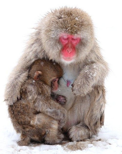 Lovely Mother and Baby Snow Monkeys all animals feel love, pain and cruelty every human and animal deserves resepect and kindess