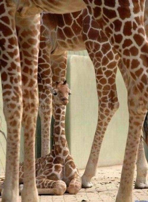 I love giraffes!