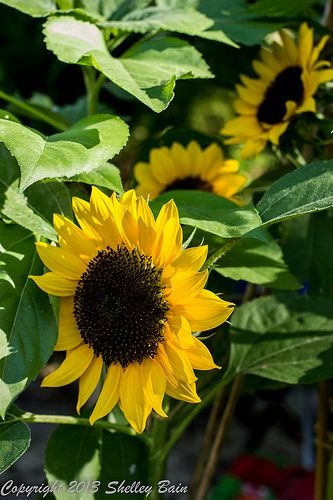 Someday I hope to look out my window at my beautiful sunflower garden.